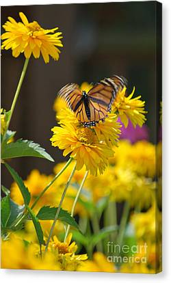 Fluttering Monarch Butterfly Canvas Print by Lila Fisher-Wenzel