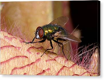 Fly On Carrion Flower Canvas Print