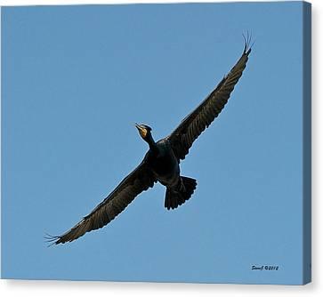 Flying Cormorant Canvas Print by Stephen  Johnson