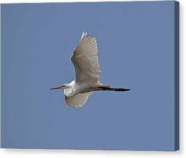 Canvas Print featuring the photograph Flying Egret by Jeannette Hunt