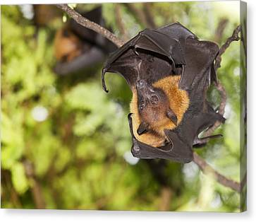 Flying Foxes Canvas Print