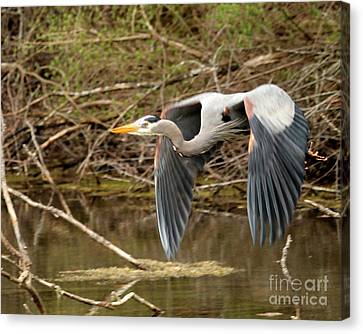 Flying Great Blue Heron Canvas Print