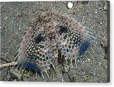 Bed Spread Canvas Print - Flying Gurnard Displaying by Matthew Oldfield