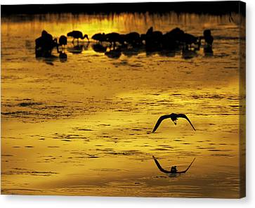 Flying Home - Florida Wetlands Wading Birds Scene Canvas Print by Rob Travis