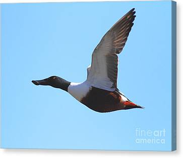 Flying Northern Shoveler Duck . 7d8729 Canvas Print by Wingsdomain Art and Photography