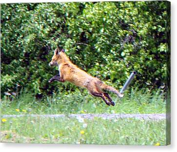 Flying Red Fox Canvas Print by Mark Haley