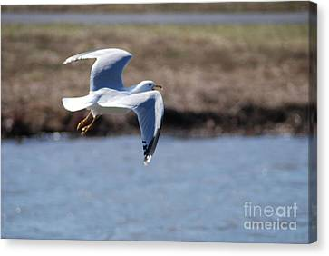 Flying Seagull Canvas Print by Mark McReynolds
