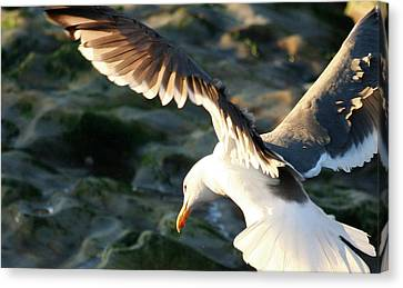 Canvas Print featuring the photograph Flying Seagull by Michael Rock