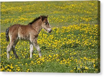Foal In Field Canvas Print by Conny Sjostrom
