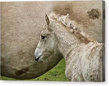 Foal Canvas Print by Odd Jeppesen