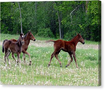 Foals In Dandelions Canvas Print
