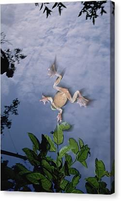 Foam Nest Tree Frog Polypedates Dennysi Canvas Print by Mark Moffett