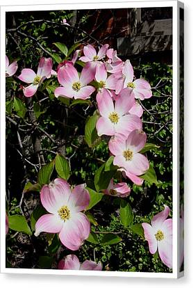 Forever Dogwood Canvas Print by Frank Wickham