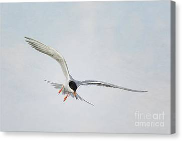 Forster's Tern Upon Cirrus Skies Canvas Print