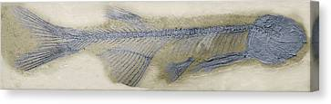 Fossil Fish, Sem Canvas Print by Steve Gschmeissner