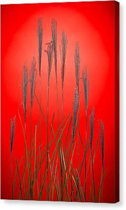 Fountain Grass In Red Canvas Print by Steve Gadomski