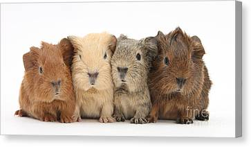 Cavy Canvas Print - Four Baby Guinea Pigs by Mark Taylor