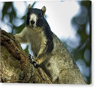 Fox Squirrel Canvas Print by Phill Doherty