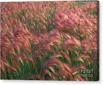 Canvas Print featuring the photograph Foxtail Barley by Doug Herr