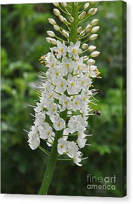 Canvas Print featuring the photograph Foxtail Lily by Tanya  Searcy