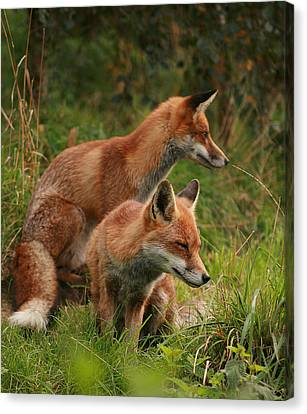 Foxy Pair Canvas Print by Jacqui Collett