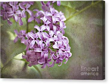 Fragrant Purple Lilac Canvas Print by Cheryl Davis