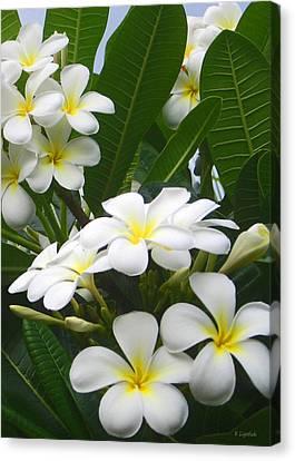 Fragrant White Plumeria Canvas Print by Kerri Ligatich