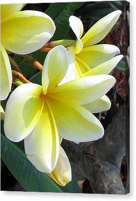 Frangipani Up Close Canvas Print by Debi Singer