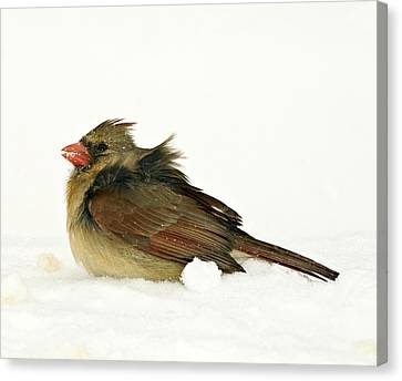 Freezing Cardinal Canvas Print by Trudy Wilkerson