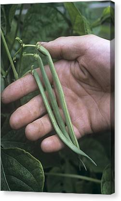 French Beans (phaseolus 'the Prince') Canvas Print by Maxine Adcock
