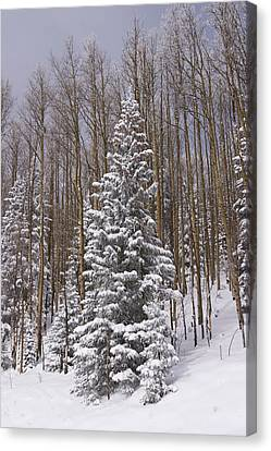 Fresh Snow Tops The Trees In Santa Fe Canvas Print by Ralph Lee Hopkins