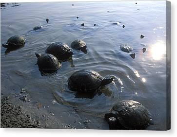Fresh Water Turtles At Canvas Print by Stephen Alvarez