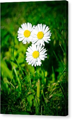 Friendly Daisy Canvas Print by Ruth MacLeod
