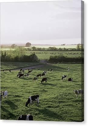 Friesian Bullocks, Ireland Herd Of Canvas Print by The Irish Image Collection