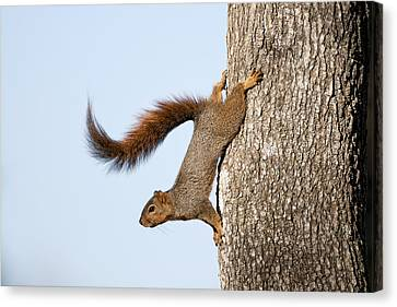 Bushy Tail Canvas Print - Frisky Little Squirrel With A Twirly Tail by Bonnie Barry