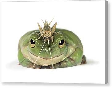 Frog And Grasshopper Canvas Print by Darwin Wiggett