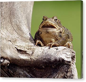 David Lester Canvas Print - Frog by David Lester