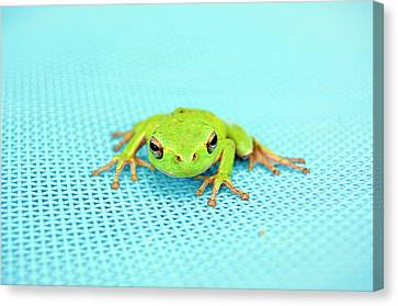 Frog Italy Canvas Print by Rhys Griffiths Photography