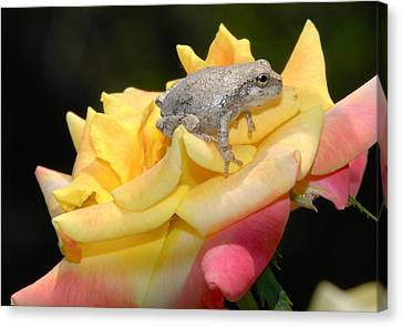 Frog Meets Rose Canvas Print by Kathy Gibbons