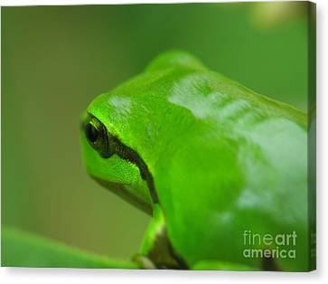 Frog Canvas Print by Odon Czintos
