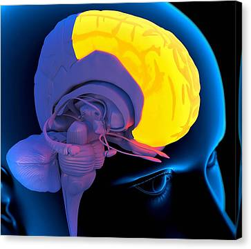 Frontal Lobe In The Brain, Artwork Canvas Print by Roger Harris