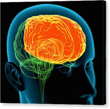 Frontal Lobes In The Brain, Artwork Canvas Print by Roger Harris