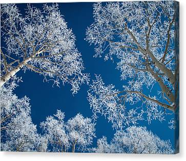 Frost-covered Aspen Trees Canvas Print
