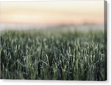 Frost On Tall Grass In Field Canvas Print by Manuel Sulzer