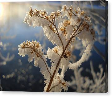 Frosty Dry Wood Aster Canvas Print by Kent Lorentzen