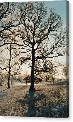 Frozen Oak Silhouette Canvas Print
