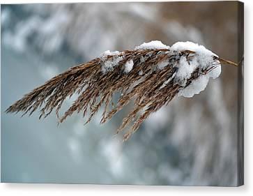 Frozen Pampas. Canvas Print by Terence Davis