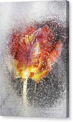 Frozen Tulip 3 Canvas Print