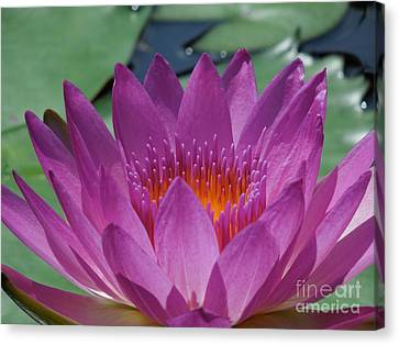 Fuchsia Water Lily Canvas Print by Chad and Stacey Hall