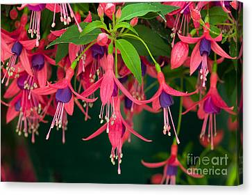 Fuchsia Windchime Flowers Canvas Print by Alan and Linda Detrick and Photo Researchers